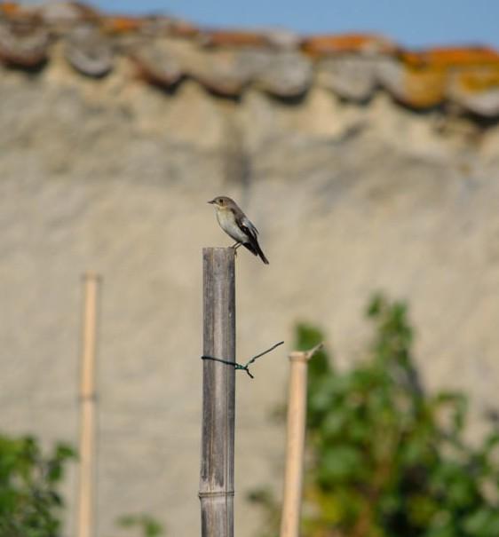 Gobe-mouche noir