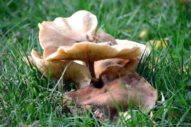 Village de champignons (11)