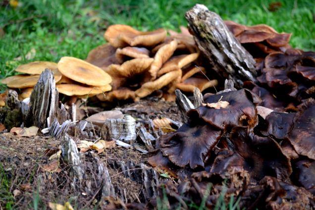 Village de champignons (16)