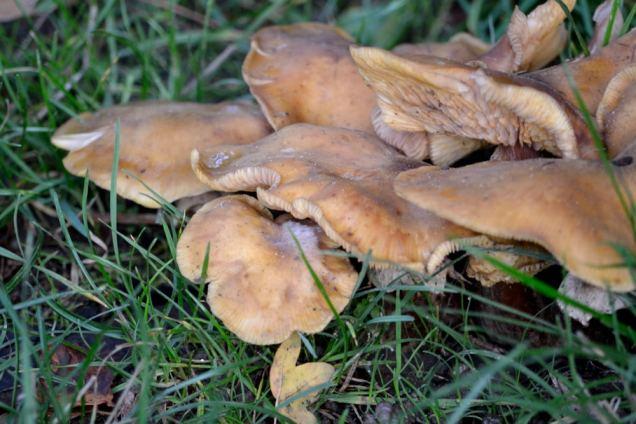 Village de champignons (22)