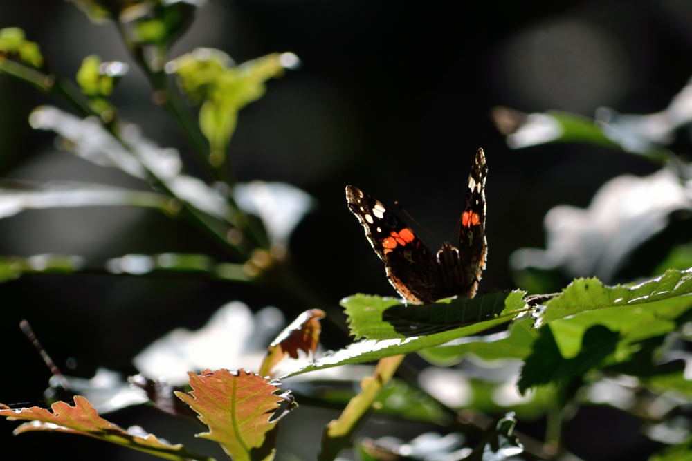 papillons (4)