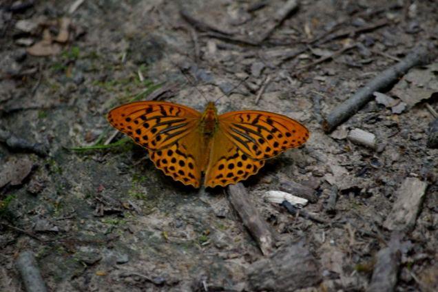 papillons (8)